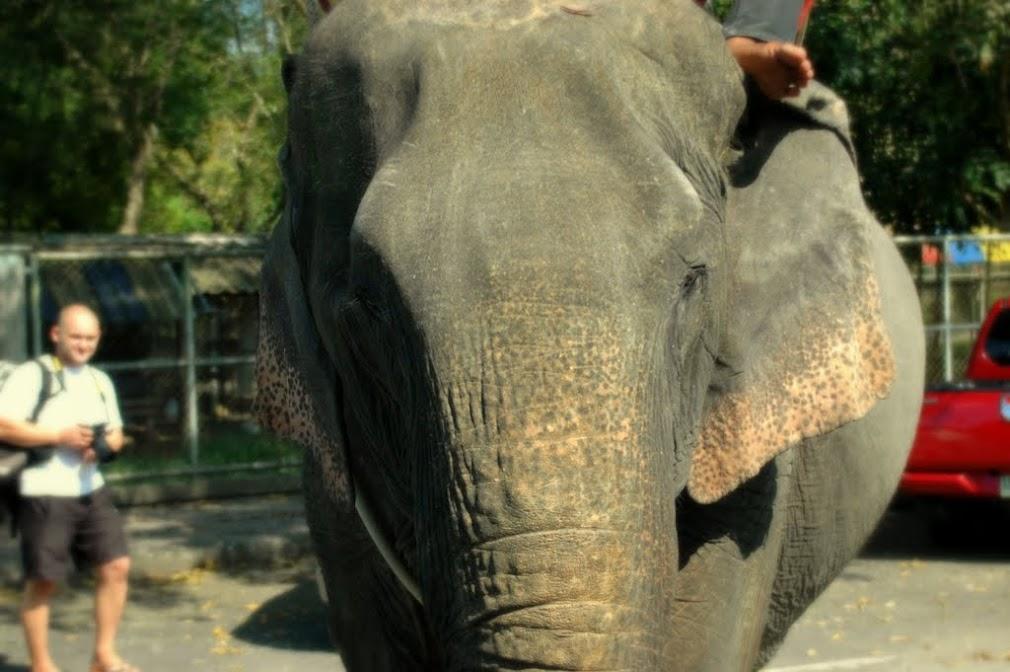 Слон на рынке городского парка. Слон большой и страшный, когда идет прямо на тебя.