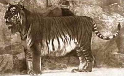 Tigre persa (extinto desde 1970)