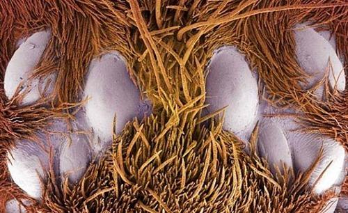 Os 8 olhos de uma tarântula mexicana divididos em 2 grupos de 4 olhos.