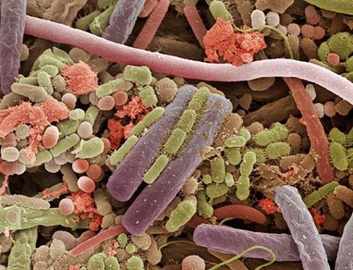 Bactérias na superfície de uma língua humana.