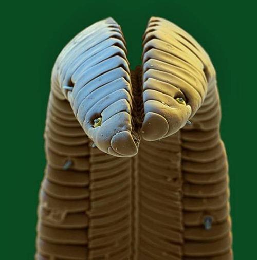 Uma ninhada de ovos de borboleta sob a superfície de uma folha de framboesa.