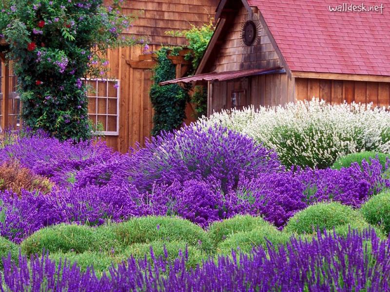 http://lh3.ggpht.com/_pPZXulD6V3E/SOWDhAuNvaI/AAAAAAAAAuQ/JOyQp7uqDjA/s800/Purple-Haze-Lavender-Farm%2C-Sequim%2C-Washington.jpg