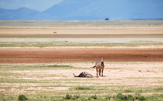 Thousands of zebra and other herbivores died of starvation, disease and predation, and an untold more animals abandoned the traditional dry-season refuge in search of vegetation. Michael Burnham