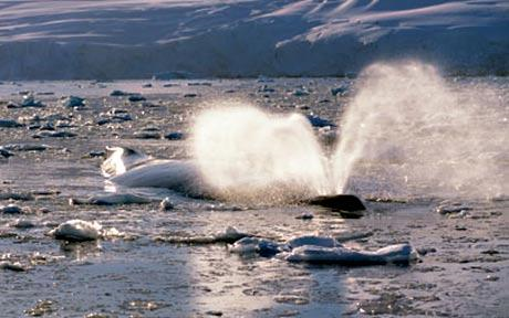 A humpback whale in the melting sea ice also feeds on krill  Photo: ALEX BENWELL