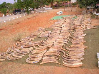 Tusks from the second-largest contraband ivory recovery in history are laid out on the ground in Singapore after they were seized in 2002. Photo by Benezeth Mutayoba. mongabay.com