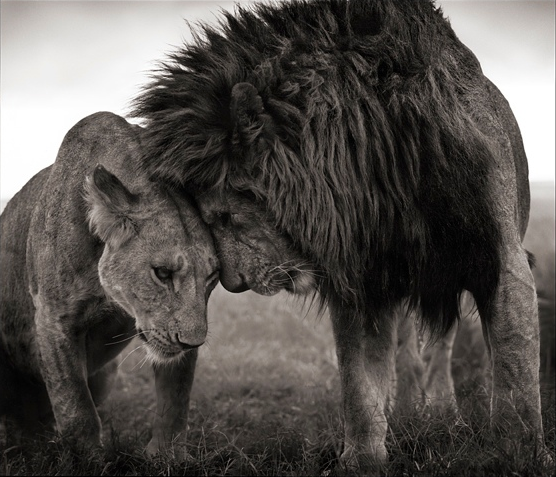 Lions head to head, Masai Mara, 2008. Nick Brandt
