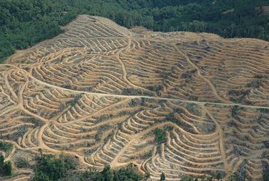 Palm oil plantation in Tawau, Sabah3