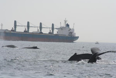 Large commercial ships routinely pass through feeding grounds for endangered North Atlantic right whales and other marine mammals. (Credit: Stellwagen Bank National Marine Sanctuary, NOAA)