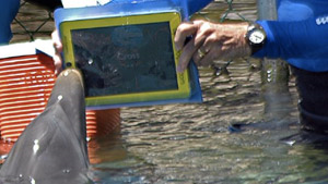 Dolphin communicating with humans via iPad. via arstechnica.com