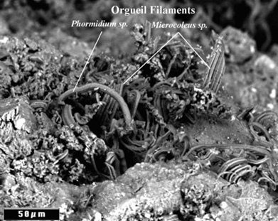 Microfossils in the Orgueil meteorite in morphology and size consistent a Microcoleus sp. (multiple trichomes within a common sheath) and Phormidium  sp. (uniseriate trichome) mat. These two genera of cyanobacteria often grow together forming mats at the bottom of ice-covered lakes and permafrost in Siberia and Antarctica. via panspermia.org