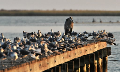 A great blue heron stands tall among a flock of seagulls on pier along Front Beach Drive in Ocean Springs Friday Oct. 10, 2008. Alabama and Mississippi are paying landowners to build artificial marshlands for birds deprived of natural marshland by the oil spill. The Mississippi Press / Jon Hauge