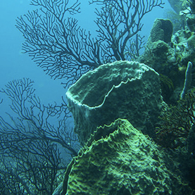 CORAL CATASTROPHE: Unusually warm waters in the Caribbean killed more than 40 percent of corals in some places there--a catastrophe that may be repeated this year. Image: Photo by Lauretta Burke, courtesy WikiMedia Commons