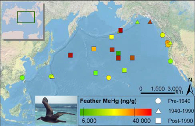 Collection localities and methylmercury concentrations measured in the breast feathers of black-footed albatross museum specimens from the Harvard University Museum of Comparative Zoology (n = 8) and University of Washington Burke Museum of Natural History and Culture (n = 17). Lowest (5,000 ng·g−1) and highest (40,000 ng·g−1) adverse effect thresholds for birds are indicated on the color ramp. Albatross photo by Scott V. Edwards
