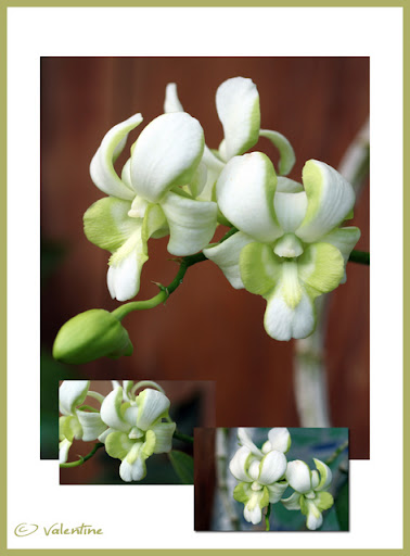 Dendrobium Burana White (Splash) OrchDendrobiumBuranaWhiteSplash100817_3RM