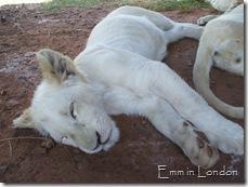Looks like a lioness
