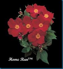 Rosa 'Home Run'
