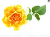roses8h