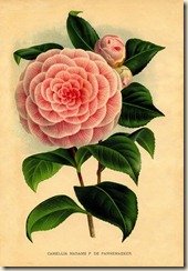 camellia-graphicsfairy005bsm