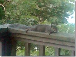 squirrel_resting