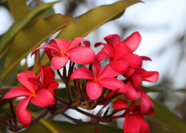 Pink Plumeria