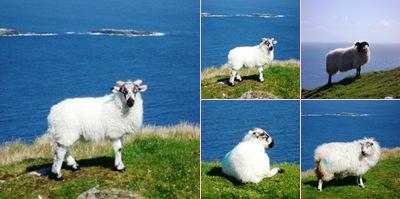 Ver ovelhas achill