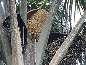 florestaruma90