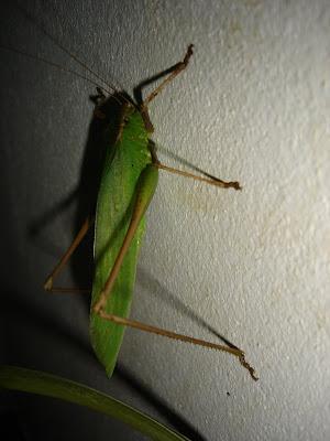 [Orthoptera sp.] ma sauterelle preferee... DSC03151