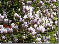 magnolia c