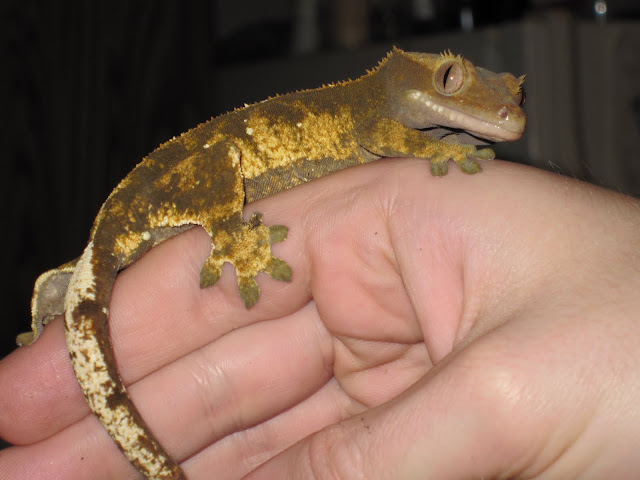 Dark Olive Flame Crested Gecko Female