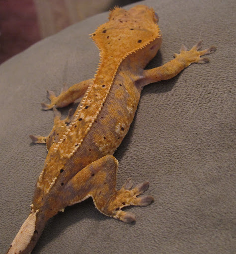 Lavender and Orange Pinstripe Crested Gecko Female