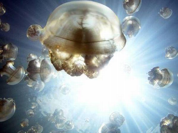 palau 14 Swim among thousands of Jellyfish