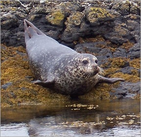 Grey_seal_flopping