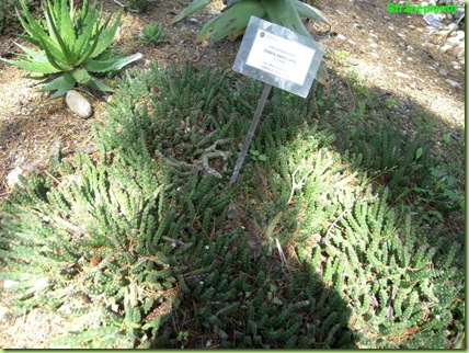 orbea variegata orto botanico roma