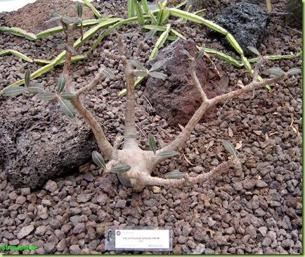 Pachypodium densiflorum orto botanico roma