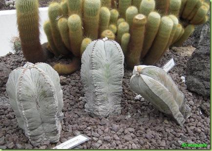 Astrophytum Notocactus roma orto botanico