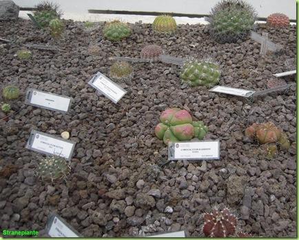 Gymnocalicyum giardino botanico roma
