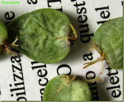 succulente talea di foglia