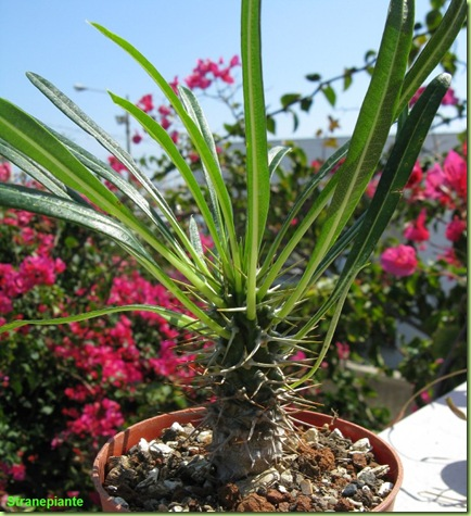 Pachypodium Lamerey 2