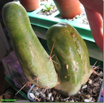 Trichoceres bridgesii mostruosa - pene cactus