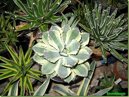 Agave giappone agavi