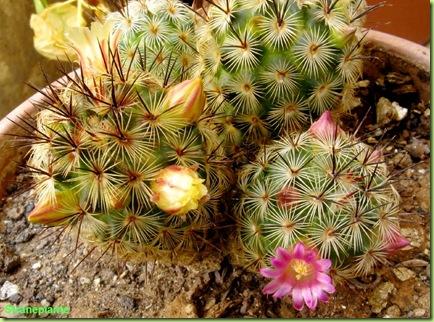 fioritura_mammillaria_microhelia