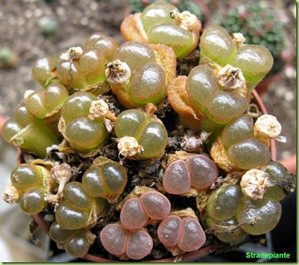 Conophytum-bo-viterbo