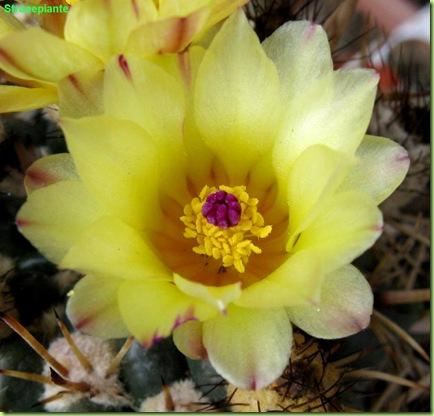parodia mammullosa fiore macro