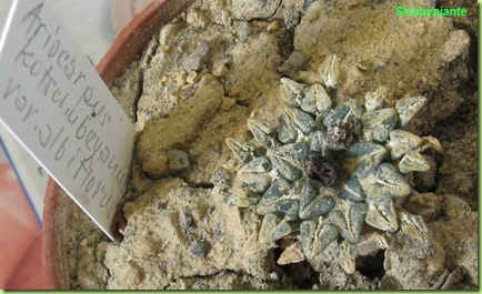 Ariocarpus kotschoubeyanus var. albiflorus