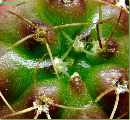 Gymnocalycium damsi polloncino macro