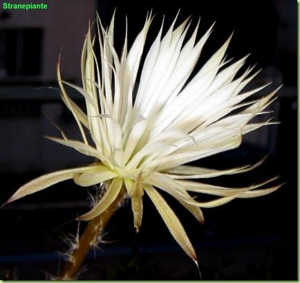 foto_fiore_setiechinopsis_mirabilis
