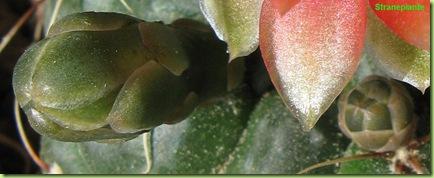 Gymnocalycium baldianum boccioli