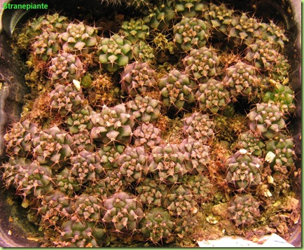 11 aprile 2009 Gymnocalycium semina