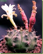 Gymnocalycium damsii con semi seminati