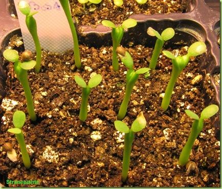 semina euphorbia obesa
